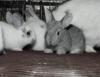 Criação de coelhos oferece várias possibilidades de comercialização