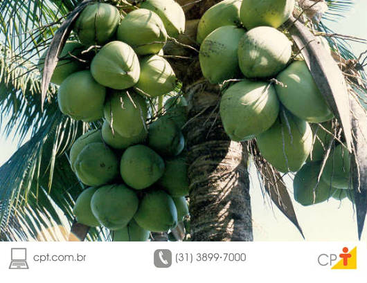 Produção lucrativa de coco