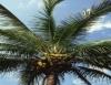 Pesquisa aponta vantagens da cultura de coqueiro feita em consórcio