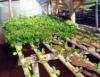 Tomate hidropônico traz qualidade, produtividade e oferta constantes
