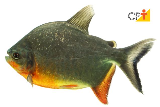 Peixes redondos