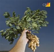 Chuva atrapalha, mas não prejudica a produção de amendoim em SP