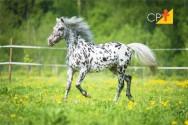 Appaloosa - saiba tudo sobre essa raça de cavalo