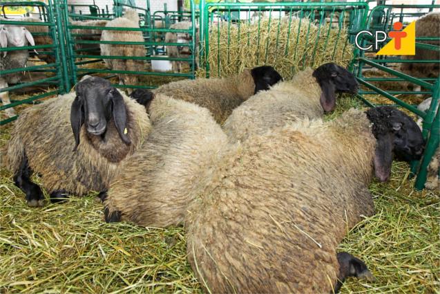 Esterco de ovelhas