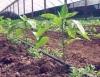 Cultivo orgânico de tomates, pimentão, abóbora e pepino tem consumidores garantidos e preserva o meio ambiente