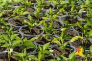 Muda de pimenta a partir de sementes: aprenda a fazer