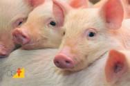 Raquitismo e anemia em suínos - manejo profilático