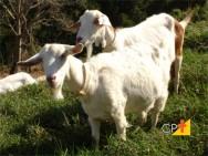 Como criar cabras, melhores raças, vantagens e desvantagens da criação
