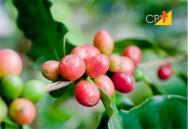 Como preparar o Café Conilon por via úmida?