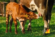 Pecuária de corte: por que reduzir a idade do primeiro parto de novilhas?