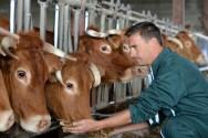 Silagem: um dos alimentos mais adequados ao gado de leite ou de corte