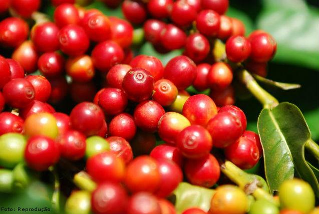 Qual é o ponto ideal de colheita do café? - Artigos Cursos CPT
