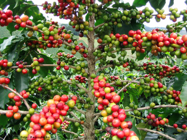 Percentual de cerejas nos talhões de café  - Artigos Cursos CPT