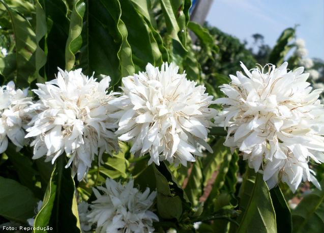 Ocorrência de floradas na lavoura de café - Artigos Cursos CPT