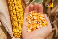 Produção de milho em alta no Brasil