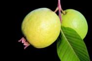 5 dicas para produzir goiabas de qualidade e de valor comercial