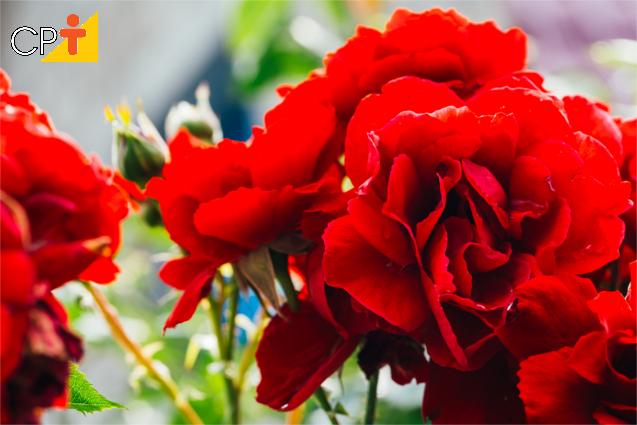 Mudas de rosas por enxertia