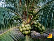 Tem como aproveitar a casca do coco?