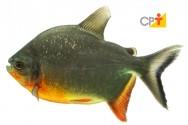 Criação de peixes no AM, principalmente o Tambaqui, está em alta