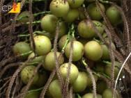 Coco Macaúba - como é feita a despolpa dos frutos?