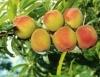 Pêssego tem cultivares classificadas em cinco parâmetros