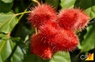 Urucum - tipo ideal de solo para o cultivo deste corante natural