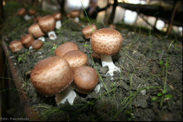 Como os cogumelos se reproduzem?   Artigos Cursos CPT