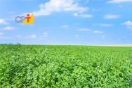 Alfafa, a mais valiosa das plantas forrageiras