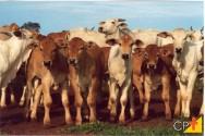 Por que cruzar Nelore com Limousin?