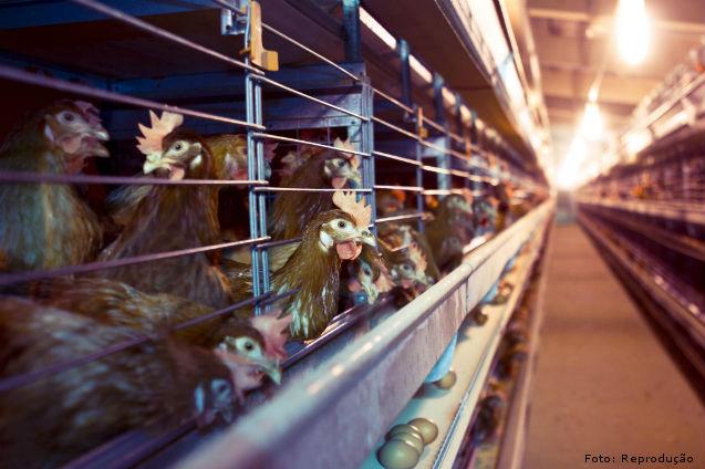 Criação de galinhas em gaiolas: equipamentos necessários   Dicas Cursos CPT