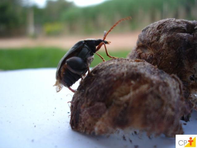 Coco Macaúba - principais pragas que atacam as mudas em viveiros   Artigos Cursos CPT
