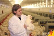 Com que idade os frangos devem ser abatidos?