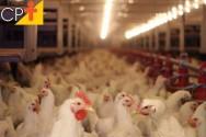 Resfriamento evaporativo em galpão avícola: como fazer?