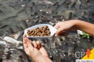 Criação de peixes: importância das proteínas
