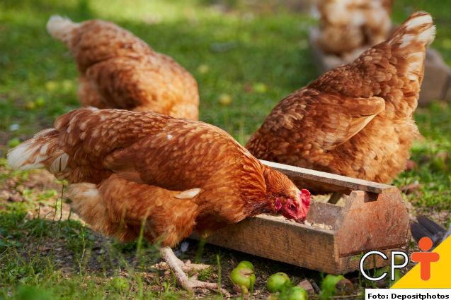 Ração para frangos: o que é preciso saber antes de fabricá-la?   Dicas Cursos CPT