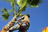 Cultivar coco é vantajoso, mas pragas e doenças atrapalham a produção