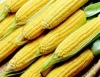 Pesquisa integra cultivo orgânico de milho e uso de tecnologias ambientais