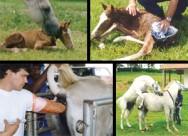 Novas técnicas ajudam o criador de cavalos a optar pela melhor forma de aumentar o índice de prenhez.