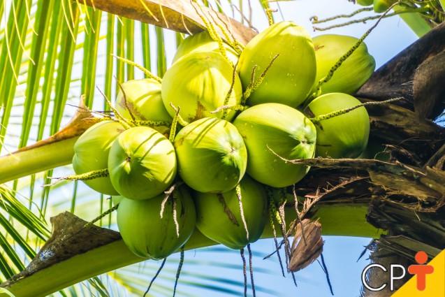 Mudas de coqueiro anão: como obtê-las   Dicas Cursos CPT