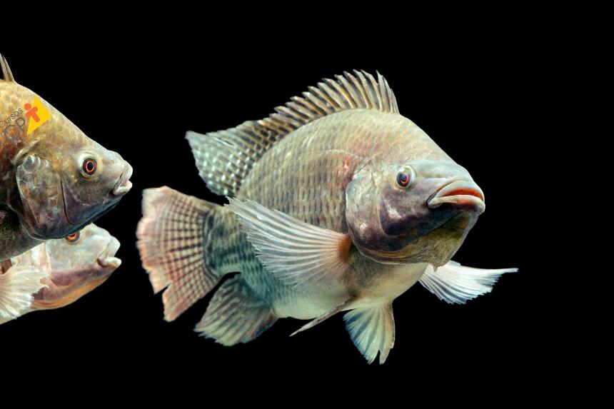 Criação de Peixes: conheça a Tilápia    Artigos CPT