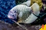 Criação de peixes: conheça a Tilápia