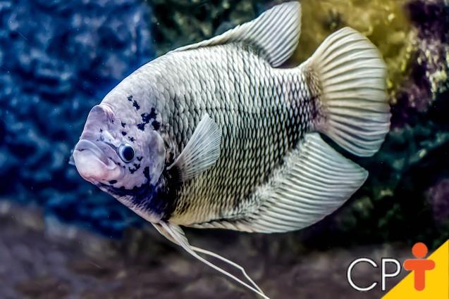 Criação de peixes: conheça a Tilápia   Artigos Cursos CPT