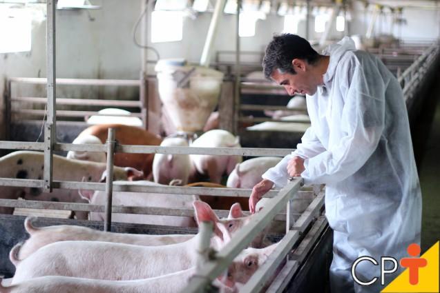 Inseminação artificial em porcas: como fazer   Dicas Cursos CPT