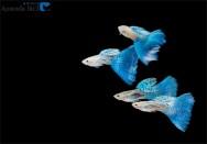 Minas Gerais é o líder nacional em produção de peixes ornamentais