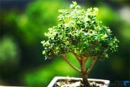 A arte de cultivar um bonsai