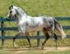 Cavalo marchador é excelente para lazer e enduro