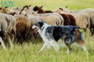 O ovelheiro-gaúcho - criação e cuidados