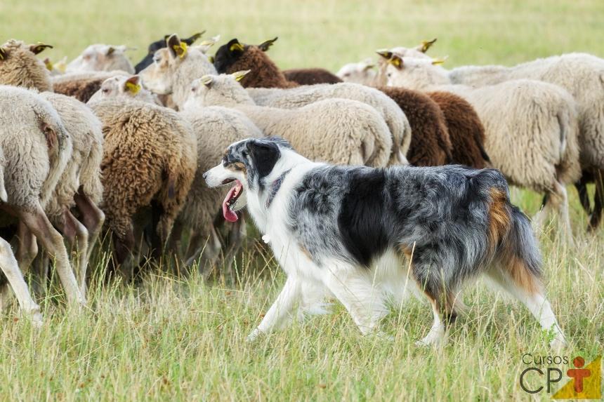 O ovelheiro-gaúcho: criação e cuidados   Artigos CPT