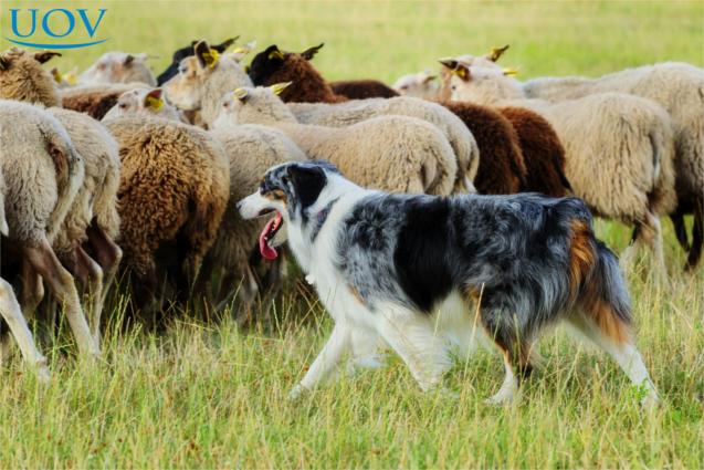 Ovelheiro-gaúcho pastoreando ovelhas