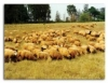 Raça de ovinos